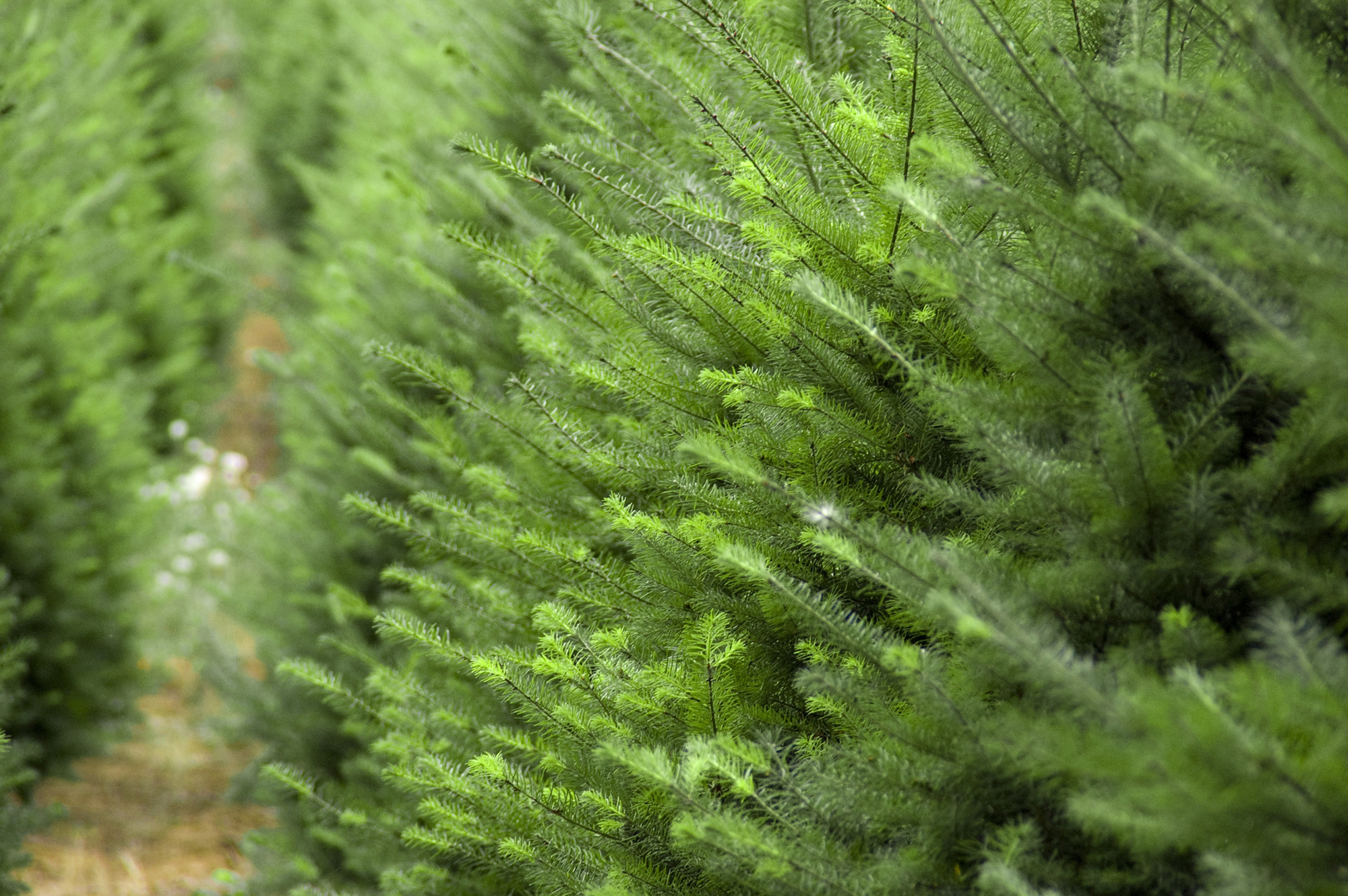 christmas tree fundraiser 2017 - Real Christmas Trees For Sale